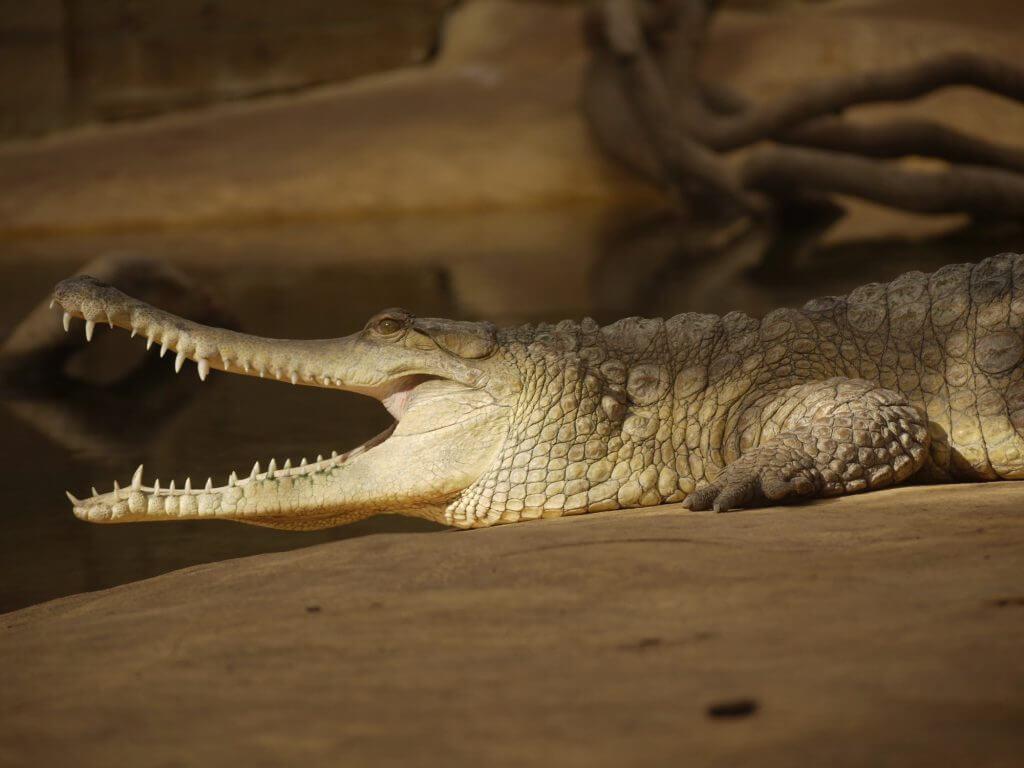 Crocodile à nez allongé d'Afrique