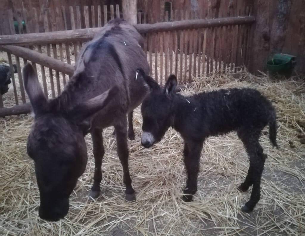 Naissance d'un âne nain en décembre 2018