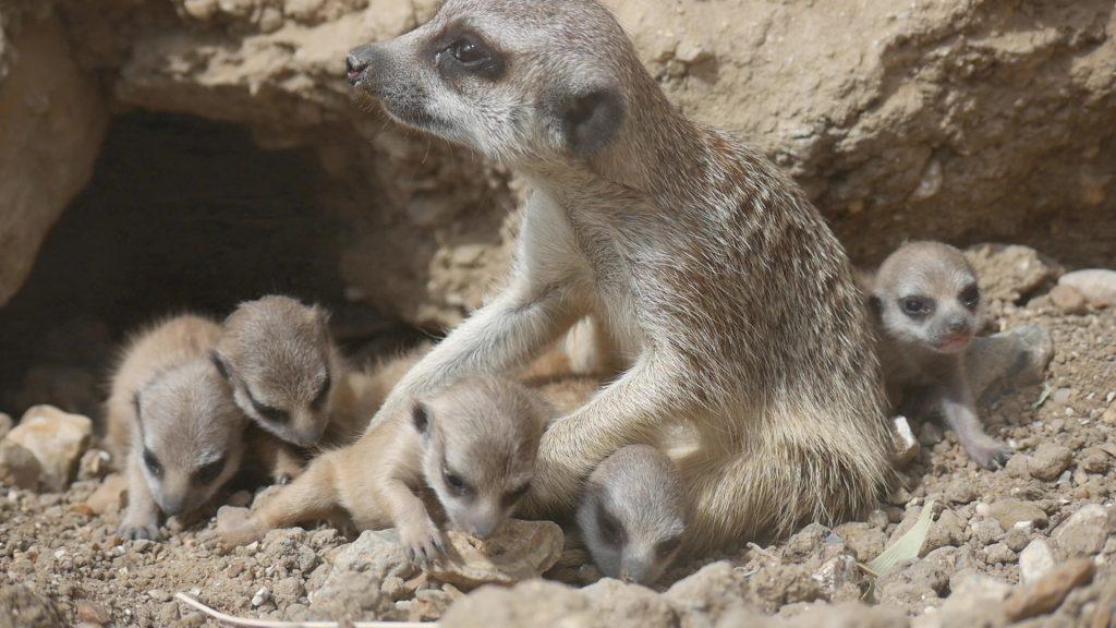 De nouveaux bébés suricates en juillet 2019