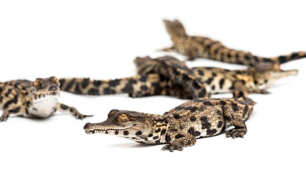 Naissance de bébés crocodiles