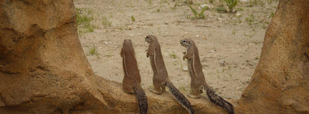 Ecureuil terrestre du cap