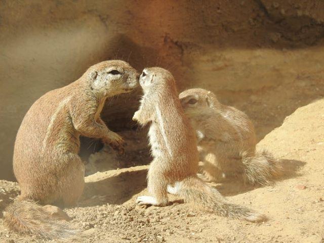 Naissance de 2 bébés écureuils terrestres