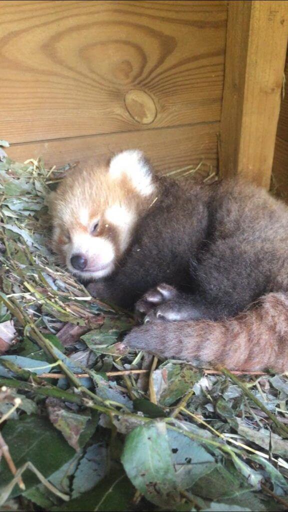 Naissance d'un bébé panda roux en juin 2018