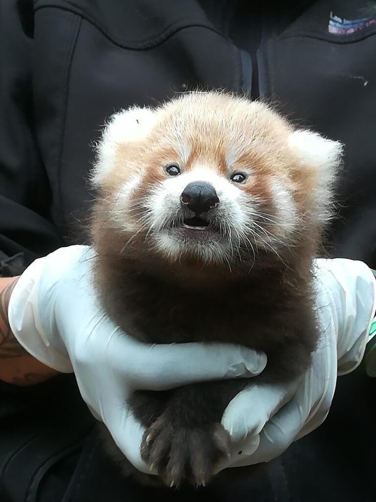 Naissance d'un panda roux en juillet 2019
