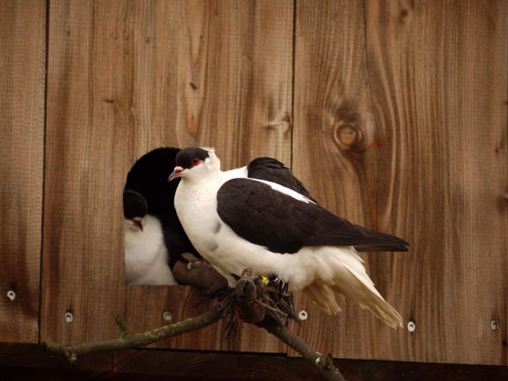 Pigeon Hirondelle de Nuremberg