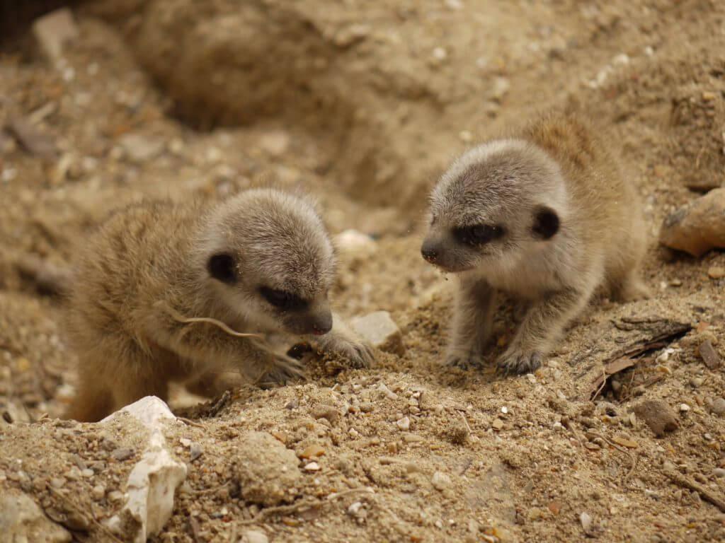 Naissance de suricates en mai 2020